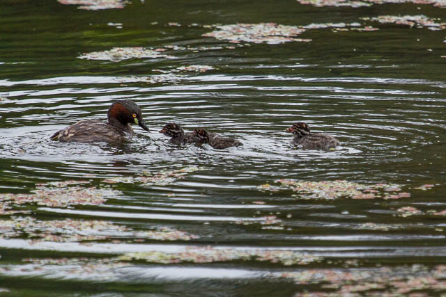 Australasian Grebe with chicks
